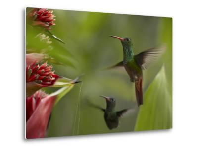 Two Rufous-Tailed Hummingbirds-Tim Fitzharris-Metal Print