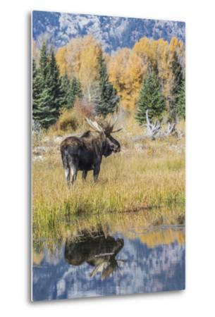 Wyoming, a Bull Moose Stands Near the Snake River at Schwabacher Landing in the Autumn-Elizabeth Boehm-Metal Print