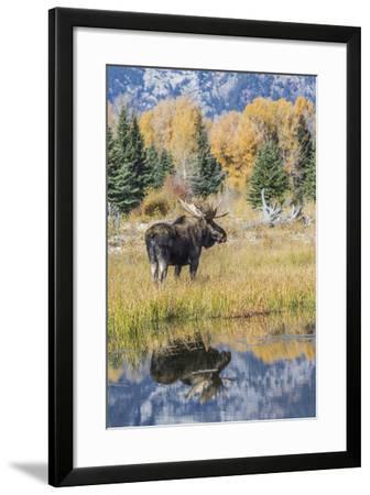 Wyoming, a Bull Moose Stands Near the Snake River at Schwabacher Landing in the Autumn-Elizabeth Boehm-Framed Photographic Print