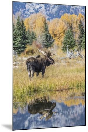 Wyoming, a Bull Moose Stands Near the Snake River at Schwabacher Landing in the Autumn-Elizabeth Boehm-Mounted Photographic Print