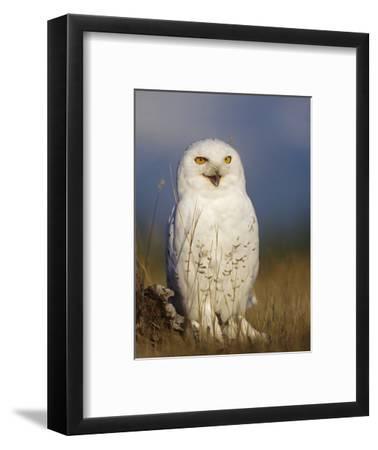Snowy Owl, British Columbia, Canada-Tim Fitzharris-Framed Photographic Print