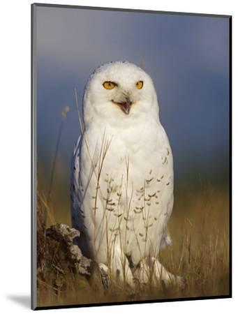 Snowy Owl, British Columbia, Canada-Tim Fitzharris-Mounted Photographic Print