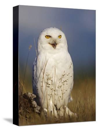 Snowy Owl, British Columbia, Canada-Tim Fitzharris-Stretched Canvas Print