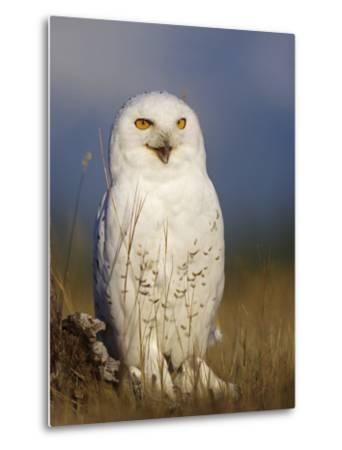 Snowy Owl, British Columbia, Canada-Tim Fitzharris-Metal Print