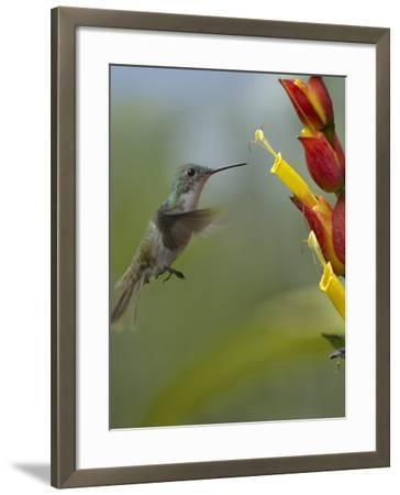 Andean Emerald Hummingbird Hovering at a Flower-Tim Fitzharris-Framed Photographic Print