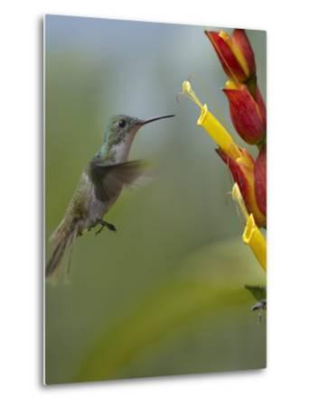 Andean Emerald Hummingbird Hovering at a Flower-Tim Fitzharris-Metal Print