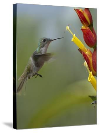 Andean Emerald Hummingbird Hovering at a Flower-Tim Fitzharris-Stretched Canvas Print