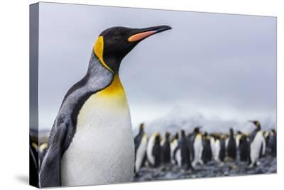 South Georgia Island, Salisbury Plains. Close-Up of King Penguin-Jaynes Gallery-Stretched Canvas Print