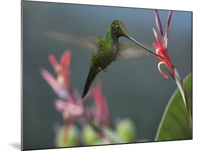 Sword-Billed Hummingbird Feeding at a Flower-Tim Fitzharris-Mounted Photographic Print