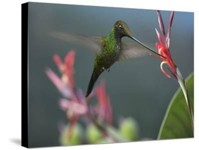Sword-Billed Hummingbird Feeding at a Flower-Tim Fitzharris-Stretched Canvas Print