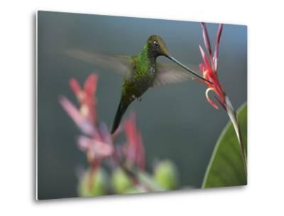 Sword-Billed Hummingbird Feeding at a Flower-Tim Fitzharris-Metal Print