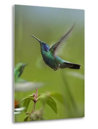 Green Violet-Ear and Green-Breasted Mango Hummingbirds, Costa Rica-Tim Fitzharris-Metal Print