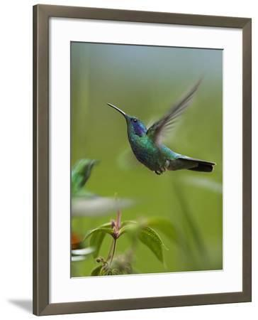 Green Violet-Ear and Green-Breasted Mango Hummingbirds, Costa Rica-Tim Fitzharris-Framed Photographic Print