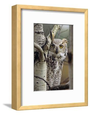 Great Horned Owl Pale Form, British Columbia, Canada-Tim Fitzharris-Framed Photographic Print