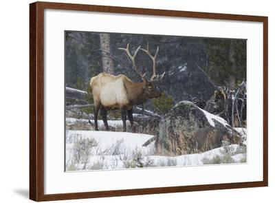 Rocky Mountain Bull Elk, Late Winter-Ken Archer-Framed Photographic Print