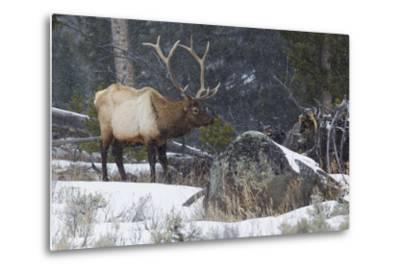 Rocky Mountain Bull Elk, Late Winter-Ken Archer-Metal Print