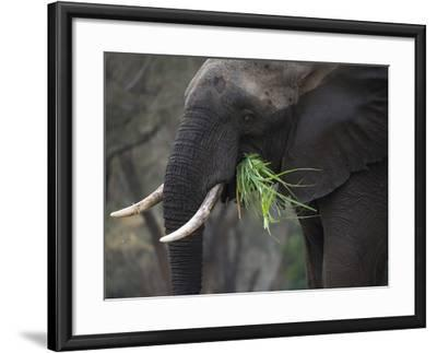 Africa, Zambia. Close-Up of Elephant Eating Grass-Jaynes Gallery-Framed Photographic Print