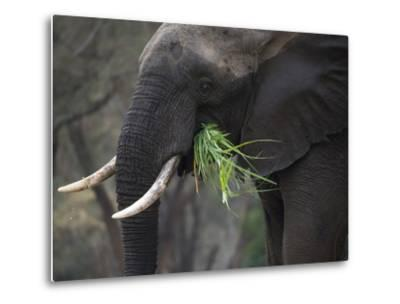 Africa, Zambia. Close-Up of Elephant Eating Grass-Jaynes Gallery-Metal Print