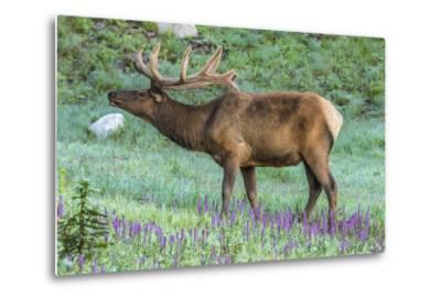 Colorado, Rocky Mountain National Park. Bull Elk and Little Elephant's Head Flowers-Jaynes Gallery-Metal Print