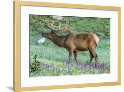 Colorado, Rocky Mountain National Park. Bull Elk and Little Elephant's Head Flowers-Jaynes Gallery-Framed Photographic Print