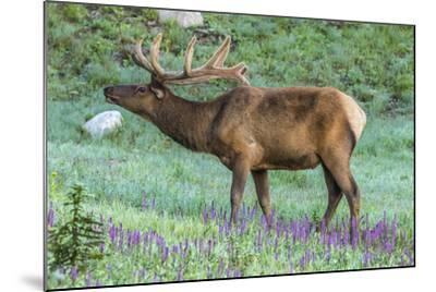Colorado, Rocky Mountain National Park. Bull Elk and Little Elephant's Head Flowers-Jaynes Gallery-Mounted Photographic Print