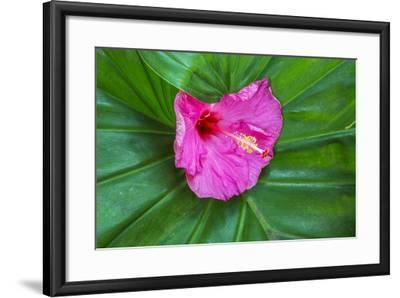 Hawaii, Maui, Pink Hibiscus on Large Leaf-Terry Eggers-Framed Photographic Print