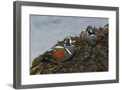 Harlequin Drakes-Ken Archer-Framed Photographic Print