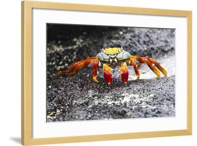 Ecuador, Galapagos Islands, Sombrero Chino. Sally Lightfoot Crab on Wet Rocks-Ellen Goff-Framed Photographic Print
