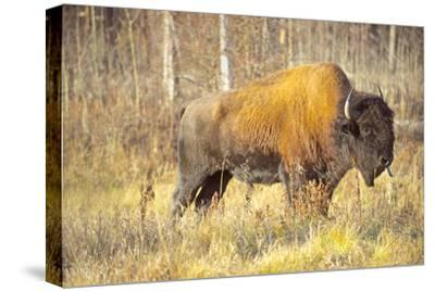 The Wood Bison-Richard Wright-Stretched Canvas Print
