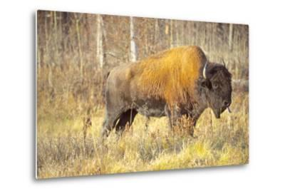 The Wood Bison-Richard Wright-Metal Print