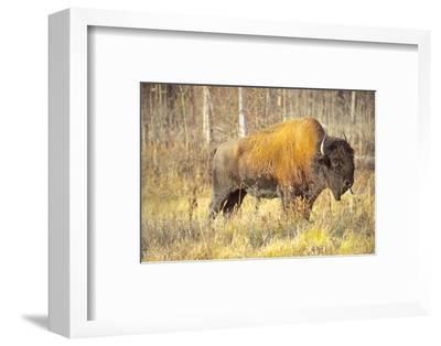 The Wood Bison-Richard Wright-Framed Photographic Print