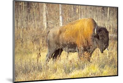 The Wood Bison-Richard Wright-Mounted Photographic Print