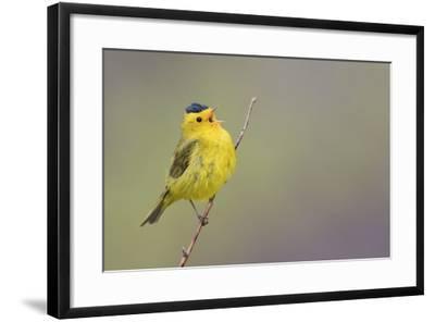 Wilson's Warbler Singing-Ken Archer-Framed Photographic Print