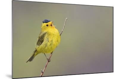Wilson's Warbler Singing-Ken Archer-Mounted Photographic Print