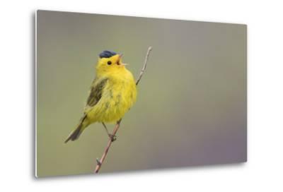 Wilson's Warbler Singing-Ken Archer-Metal Print