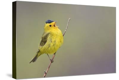 Wilson's Warbler Singing-Ken Archer-Stretched Canvas Print