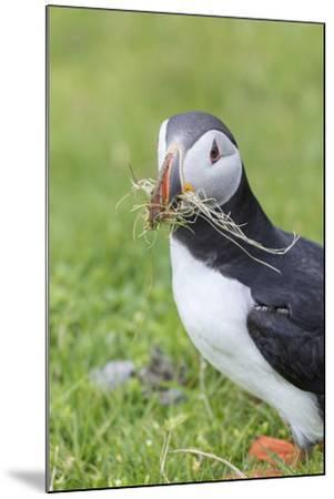 Atlantic Puffin. Scotland, Shetland Islands-Martin Zwick-Mounted Photographic Print