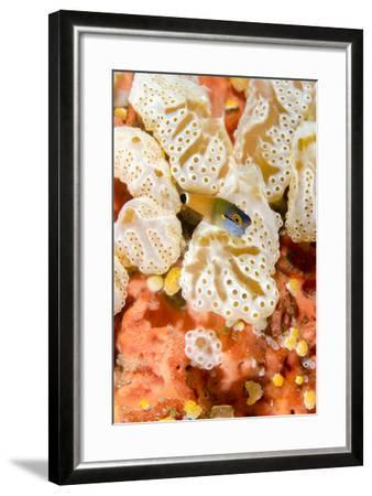 Indonesia, West Papua, Raja Ampat. Close-Up of Coral and Blenny Fish-Jaynes Gallery-Framed Photographic Print