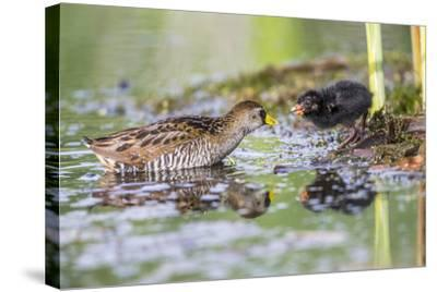 Wyoming, Sublette County, a Sora Feeds it's Chick in a Cattail Marsh-Elizabeth Boehm-Stretched Canvas Print