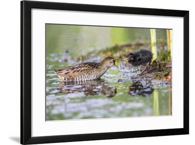 Wyoming, Sublette County, a Sora Feeds it's Chick in a Cattail Marsh-Elizabeth Boehm-Framed Photographic Print