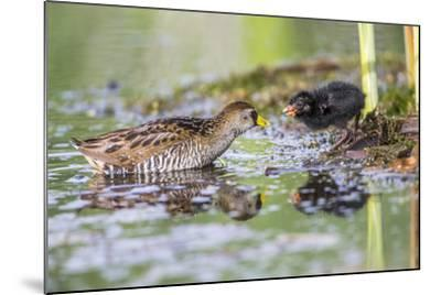Wyoming, Sublette County, a Sora Feeds it's Chick in a Cattail Marsh-Elizabeth Boehm-Mounted Photographic Print