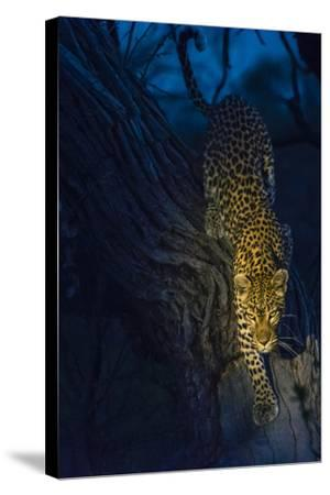 Botswana. Okavango Delta. Khwai Concession. Leopard Climbing Out of a Tree to Go Hunting-Inger Hogstrom-Stretched Canvas Print