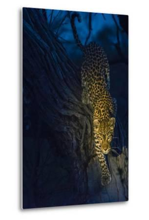 Botswana. Okavango Delta. Khwai Concession. Leopard Climbing Out of a Tree to Go Hunting-Inger Hogstrom-Metal Print