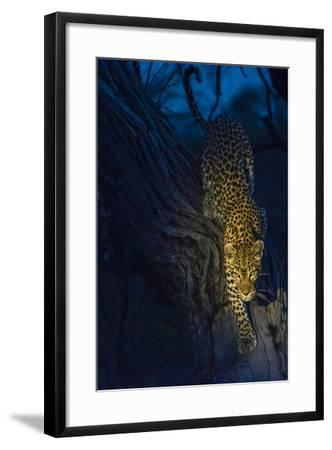 Botswana. Okavango Delta. Khwai Concession. Leopard Climbing Out of a Tree to Go Hunting-Inger Hogstrom-Framed Photographic Print