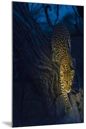 Botswana. Okavango Delta. Khwai Concession. Leopard Climbing Out of a Tree to Go Hunting-Inger Hogstrom-Mounted Photographic Print