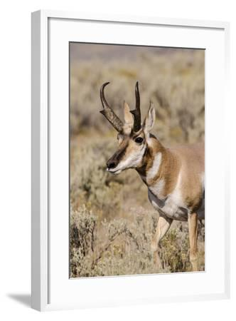 Pronghorn in Lamar Valley, Yellowstone National Park, Wyoming-Michael DeFreitas-Framed Photographic Print