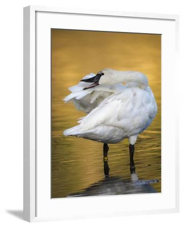 Trumpeter Swan Preening, Yellowstone National Park, Wyoming-Maresa Pryor-Framed Photographic Print