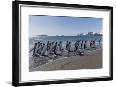 South Georgia Island, Salisbury Plains. Group of King Penguins on Beach-Jaynes Gallery-Framed Photographic Print