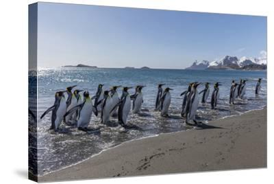 South Georgia Island, Salisbury Plains. Group of King Penguins on Beach-Jaynes Gallery-Stretched Canvas Print