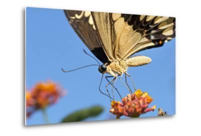 California. Anise Swallowtail Butterfly on Flower-Jaynes Gallery-Metal Print